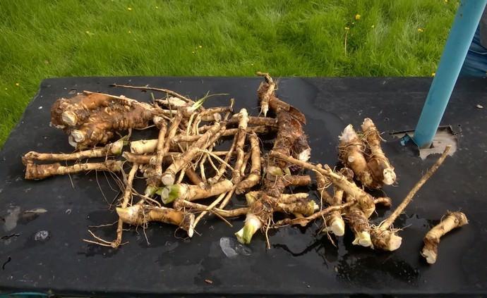 Урожай хрена следует собирать в августе или сентябре, в зависимости от сортовых особенностей и почвенно-климатических условиях региона выращивания огородной культуры