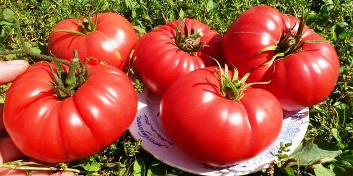 Садоводы дают только высокую оценку и положительные отзывы Бычьему сердцу