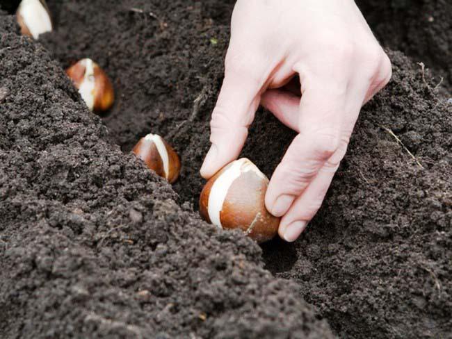 Луковичные культуры в большинстве случаев принято высаживать на постоянное место осенью