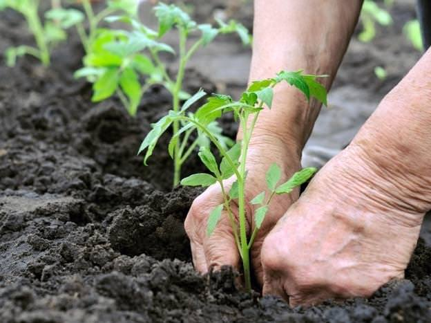 Высаживать рассаду сорта Дубрава на постоянное место лучше всего в возрасте двух месяцев