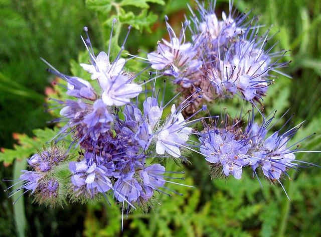 Значительная часть видов фацелии выращивается как декоративные растения, сидераты и медоносы