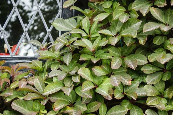 Пятилисточковый вид представлен лианой с одревесневающими побегами высотой до 20-25 м