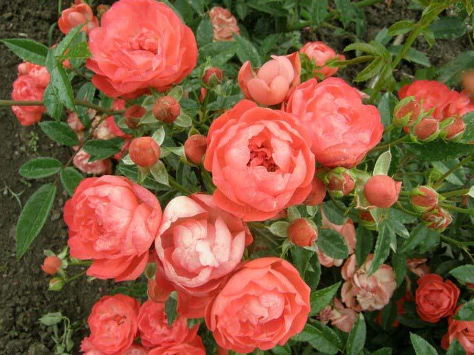 Полиантовые розы характеризуются обильным и продолжительным цветением