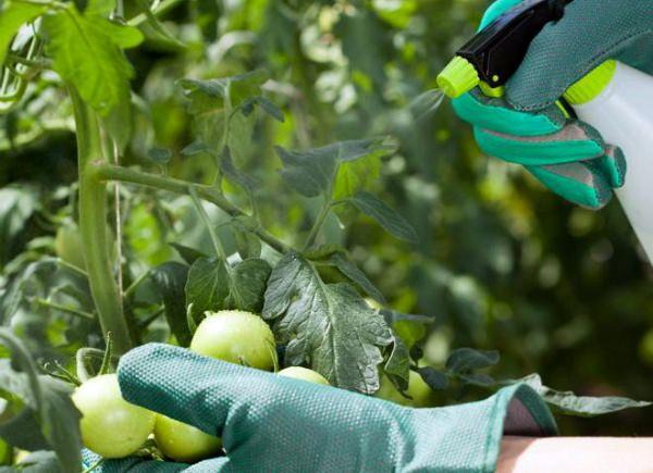 Обработка трихополом помидоров в настоящее время является одним из наиболее действенных и безопасных с точки зрения экологии способов защиты этой популярной в нашей стране огородной культуры от поражения фитофторой