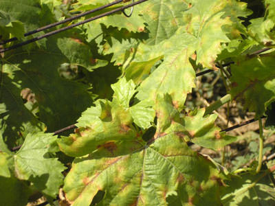 Болеет виноград