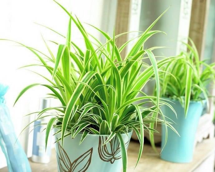 Неприхотливый хлорофитум прекрасно растет в любых помещениях и, согласно поверьям, приносит своим владельцам счастье и спокойствие