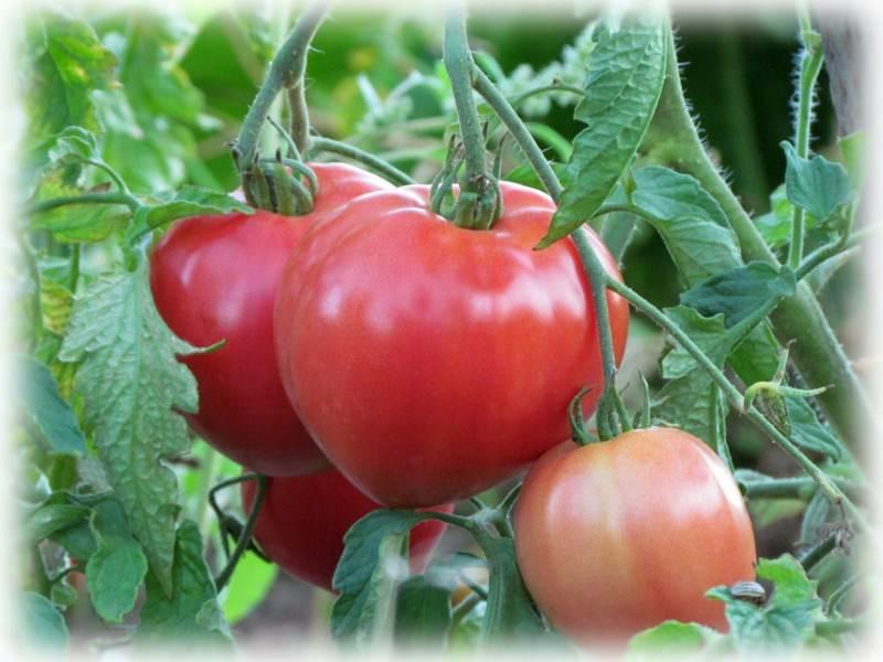 Ответ на Препарат для опыления томатов