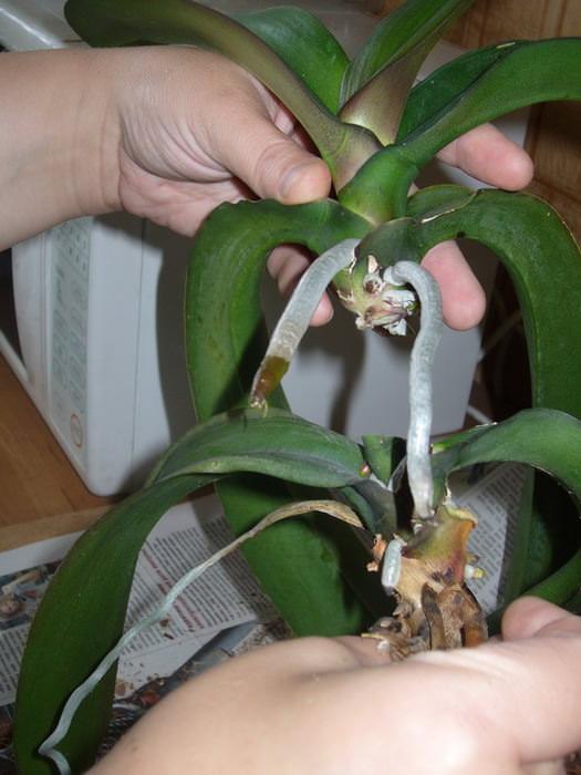 Как правильно омолодить старую орхидею