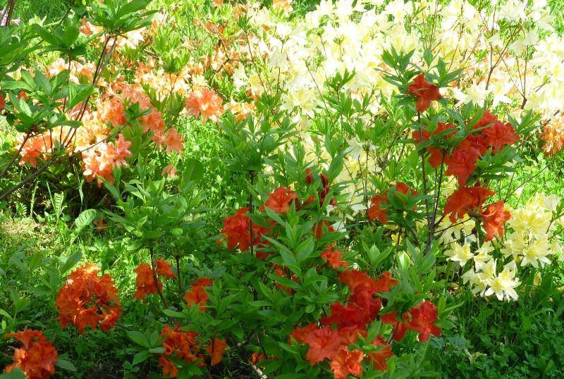 Азалия понтийская: выращивание на садовом участке