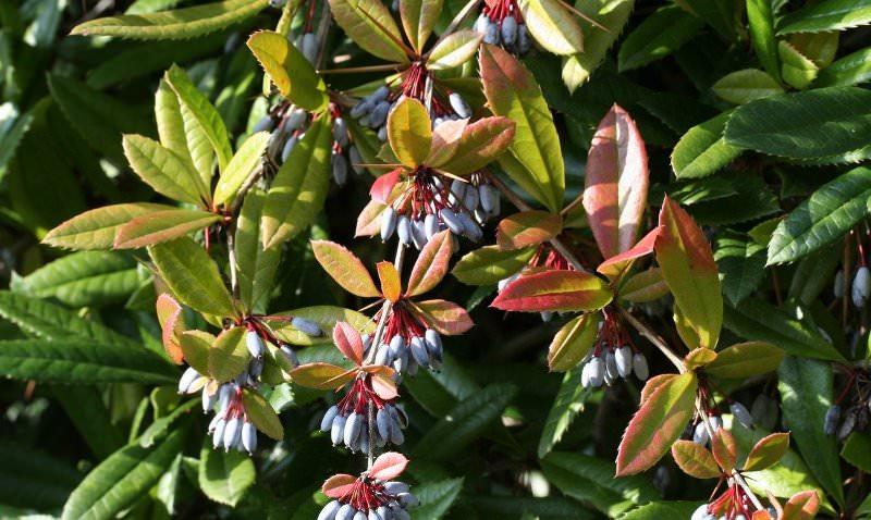 Барбарис в саду: сорта и особенности выращивания