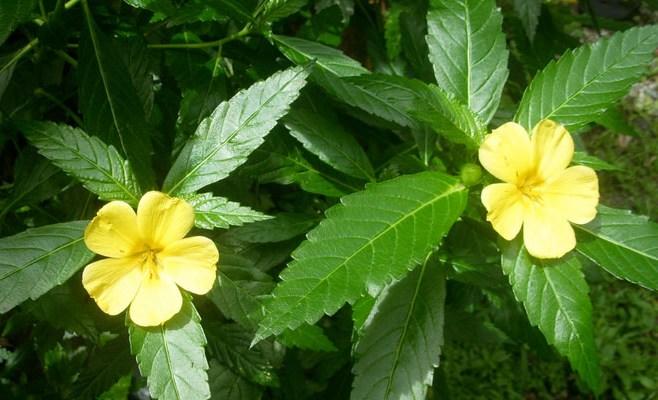 С лечебной целью широко используется только надземная часть растения