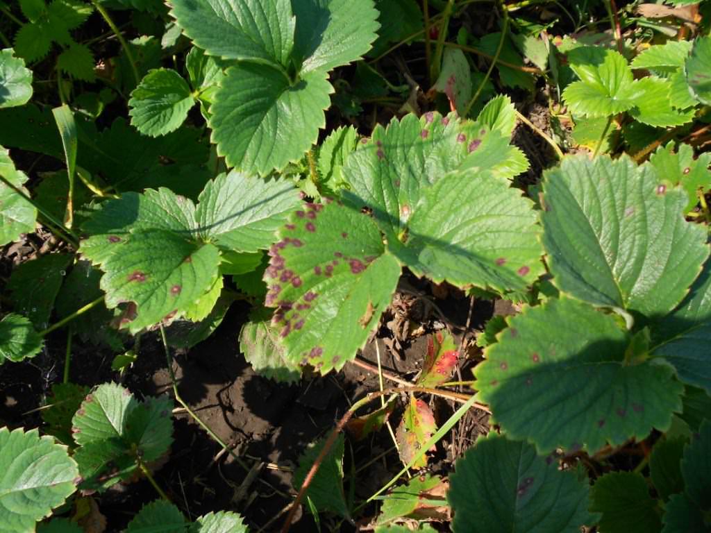 Почему на листьях клубники появились красные и бурые пятна