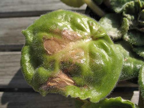 Пятна на листьях фиалки: что за болезнь
