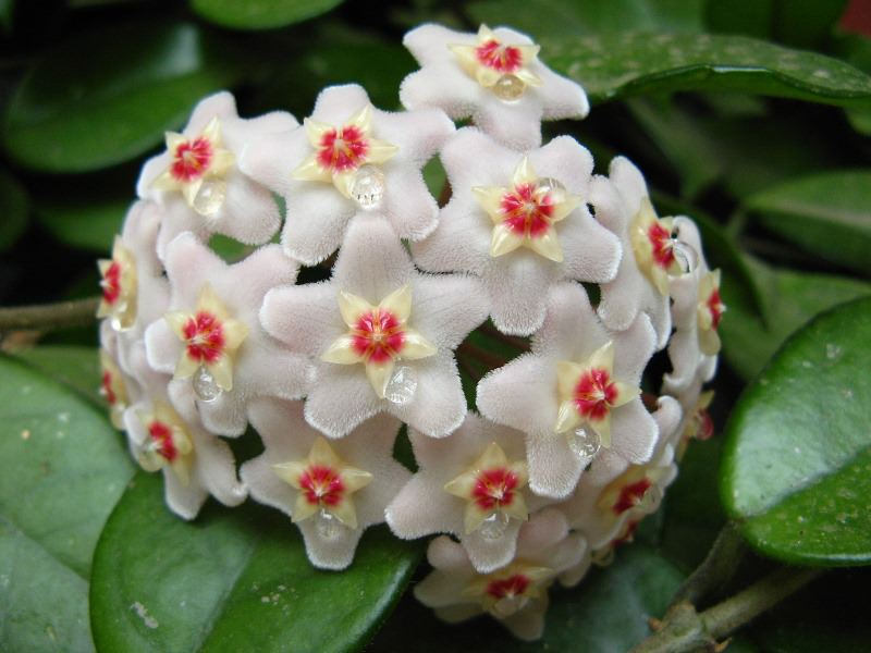 Уход за хойей в домашних условиях комнатный цветок, восковой плющ, возможно принести несчастье,