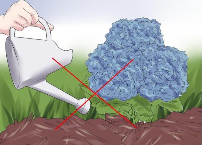 С наступлением осени полив гортензии прекращают