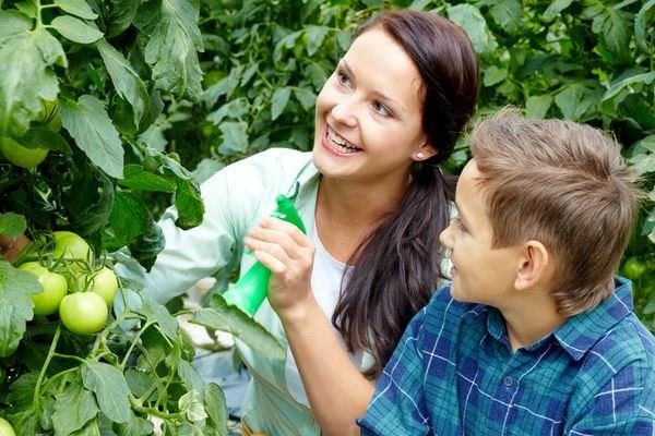 Опрыскивание надземной части томатов проводится в несколько этапов, на стадии цветения каждой кисти