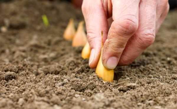Некоторые огородники соблюдают сроки высаживания лука-севка по лунному календарю, но для большинства опытных овощеводов ориентиром служат показатели готовности почвы на участке и температурный режим