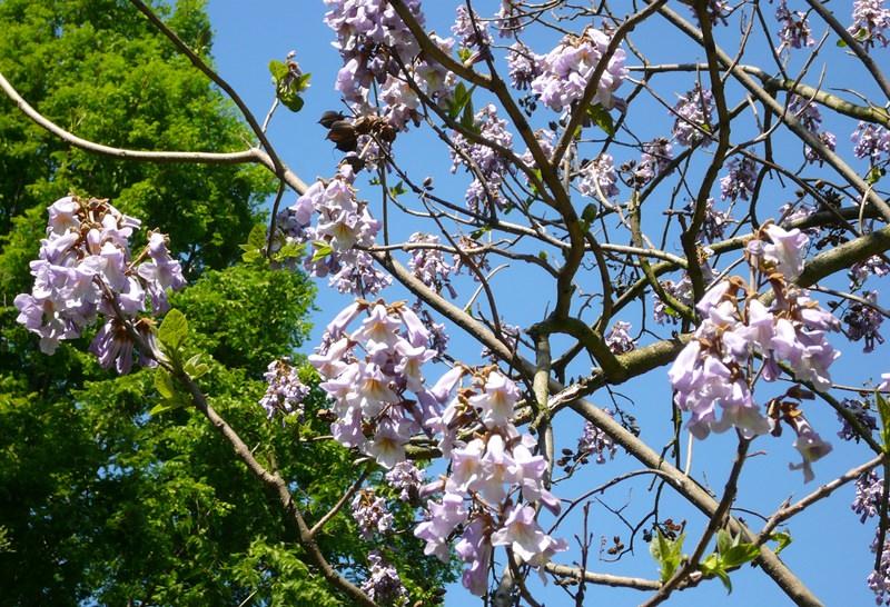 Адамово дерево (Павловния): особенности выращивания и ухода