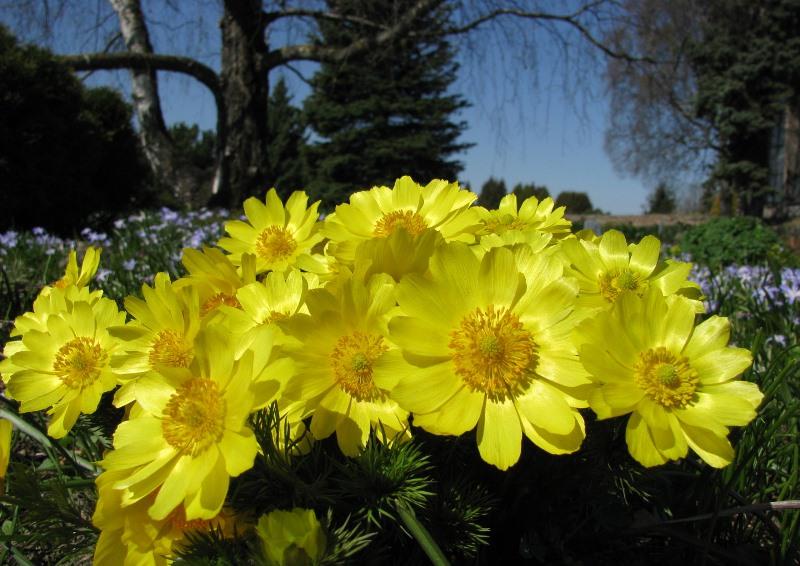 Адонис – очарование летнего солнца в каждом цветке