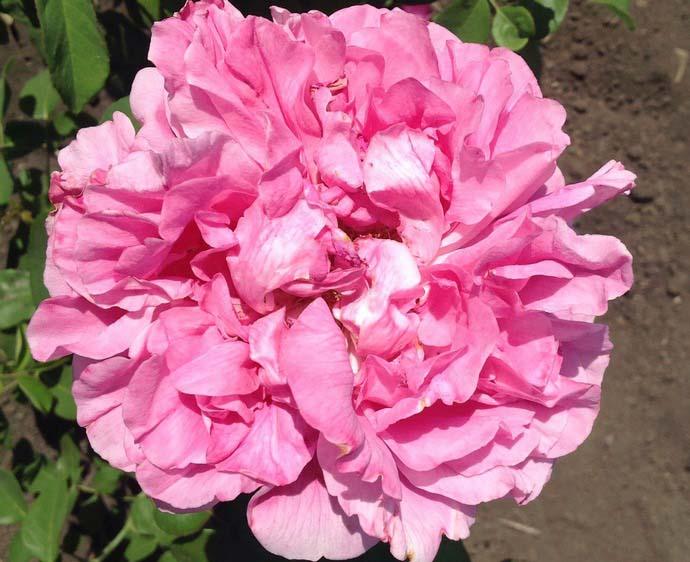 Крупноцветковая, или чайно-гибридная, роза сорта Аленушка характеризуется очень высокими качественными показателями и непрерывностью цветения