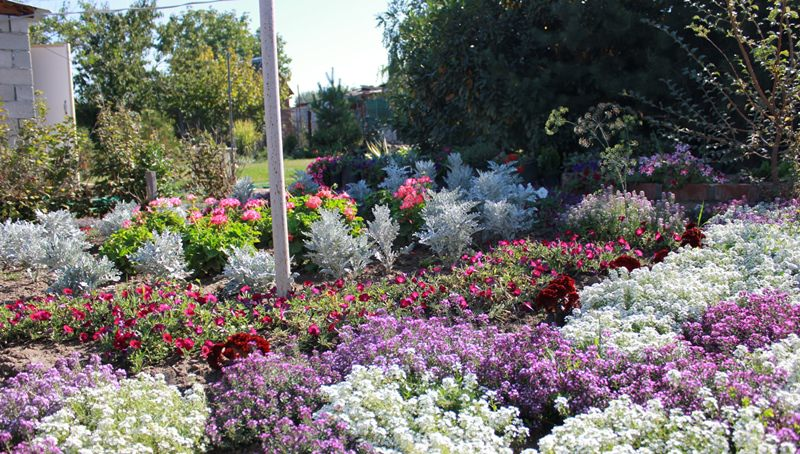 Алиссум: душистый цветок для сада