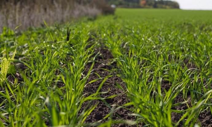 Хороший результат в борьбе с амброзией дает бессменное выращивание в течение трех лет озимых зерновых культур с последующим проведением полупаровой обработки грунта