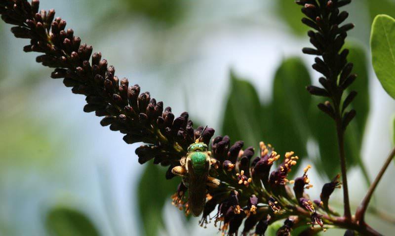 Выращивание аморфы: что за странный «зверь»