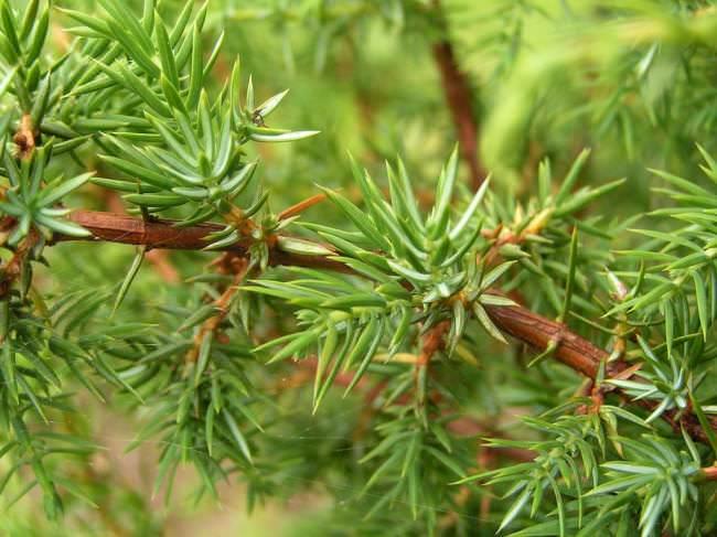 Хвоя можжевельника Андорра Компакт имеет мягкую и приятную на ощупь структуру листа, обладающую пряным душистым ароматом