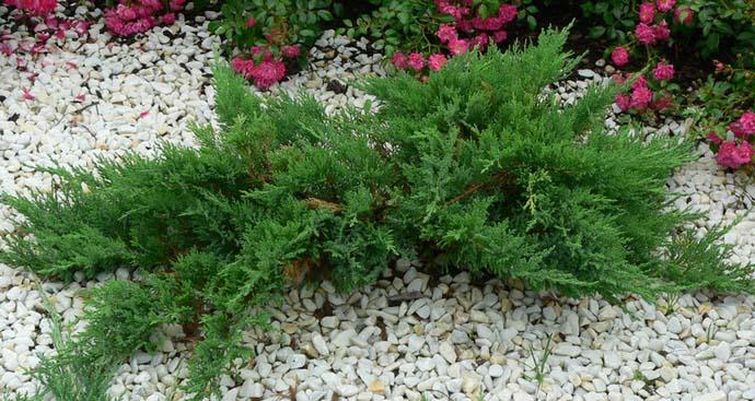 Андорра Компакт обладает всеми необходимыми критериями, позволяющими применять этот сорт для озеленения территории