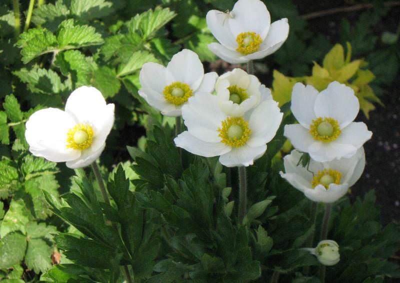 Анемоны – дочери ветров в декоре сада