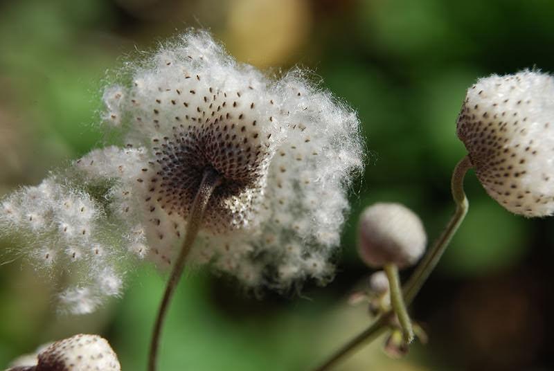 При необходимости получить молодые растения с отцветших анемонов собирают семена