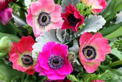 Анемоны — очень легкие и потому очаровательные растения