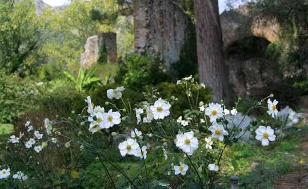 Ветреница — очень нежная и ненавязчивая садовая жительница, которая нередко используется в ландшафтном дизайне