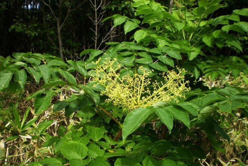 Аралия: особенности и виды растения