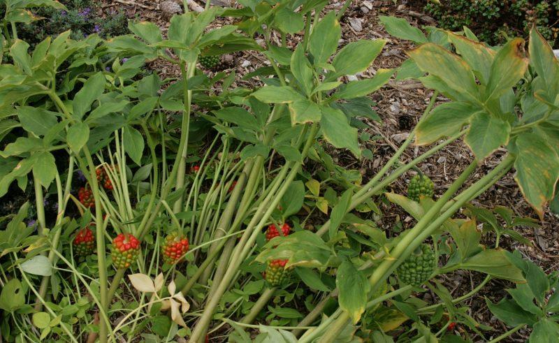 Аризема: цветок под покрывалом