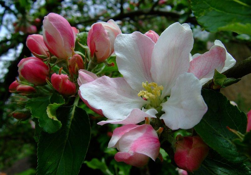 Армерия: яркая гвоздика в вашем саду