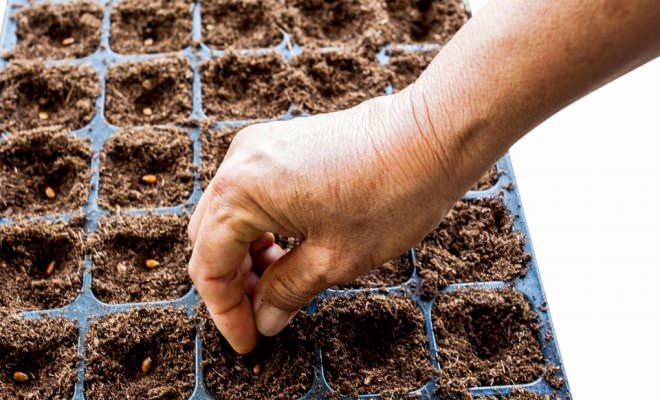 Как вырастить раннеспелый арбуз сорта Огонек