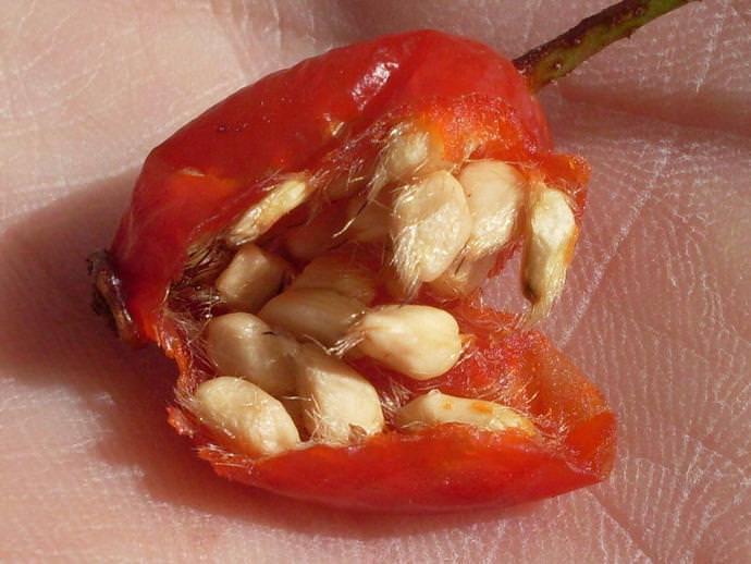 Семена шиповника включают в себя полезные жиры, обладающие яркими целебными качествами