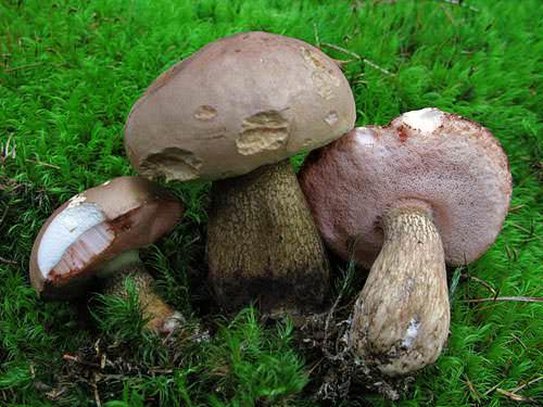 Ложный белый гриб выглядит практически как настоящий боровик