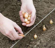 Согласно лунному посевному календарю на 2018 год, сеять и сажать лук нужно в разные сроки