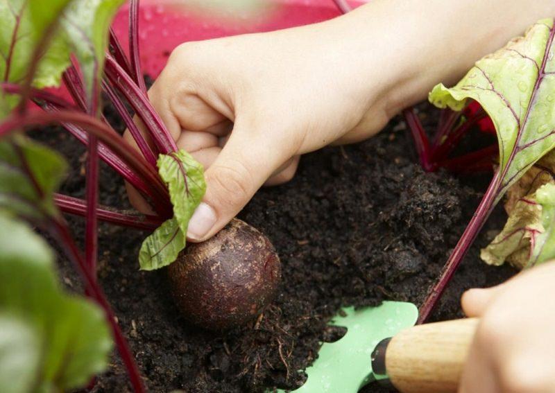 Выращивание с помощью рассады позволяет на несколько недель раньше получить высококачественный урожай свеклы