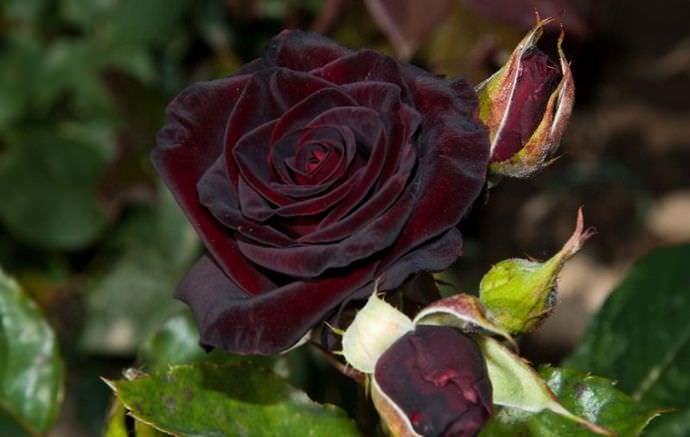 Черные розы принято соотносить с глубокой скорбью, унынием, печалью и трауром
