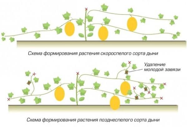 При выращивании дыни в условиях приусадебного хозяйства очень важно правильно осуществлять формирование и прищипку стеблей