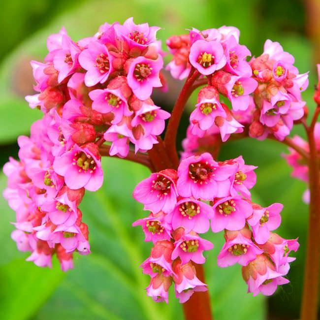 Бадан толстолистный: красивое и целебное растение на вашем участке