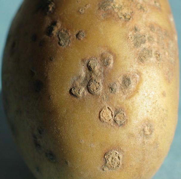 Довольно часто встречается такое заболевание, как парша на картофеле