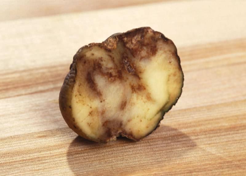 Одним из самых заразных и распространенных заболеваний картофеля является фитофтора