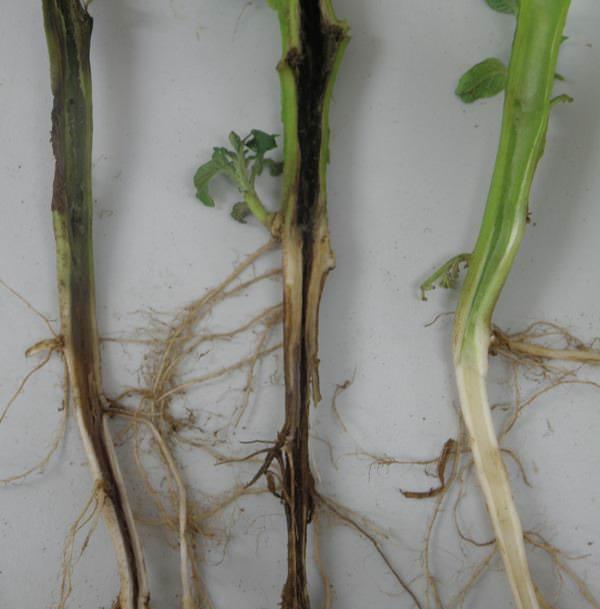 Очень опасными принято считать бактериальные болезни картофеля. Одно из таких заболеваний — черная ножка
