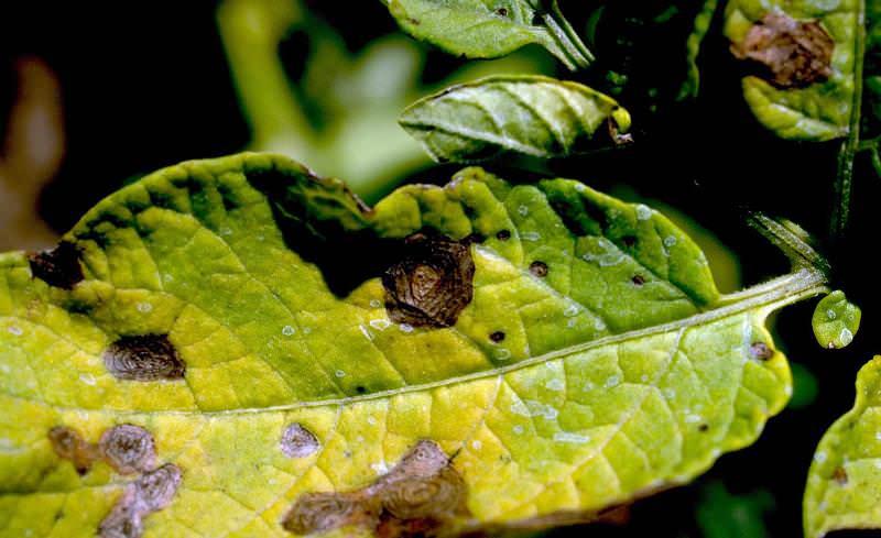 Опасными считаются и вирусные болезни картофеля. Одно из них — альтернариоз