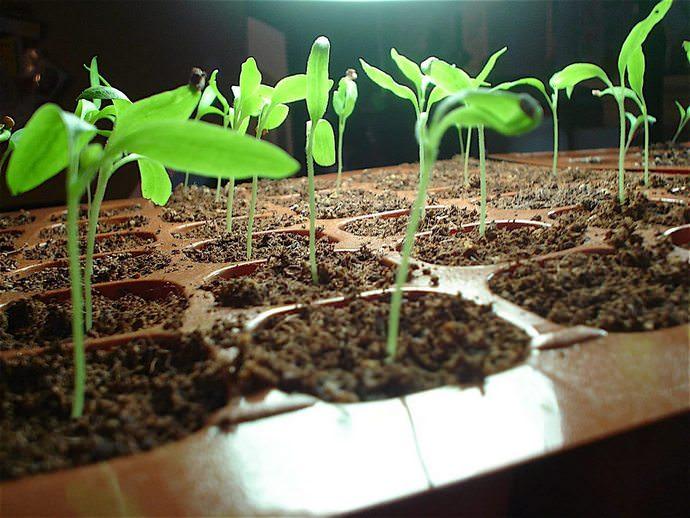 В разных регионах семена рекомендуется сеять в разный период из-за различия климатических условий