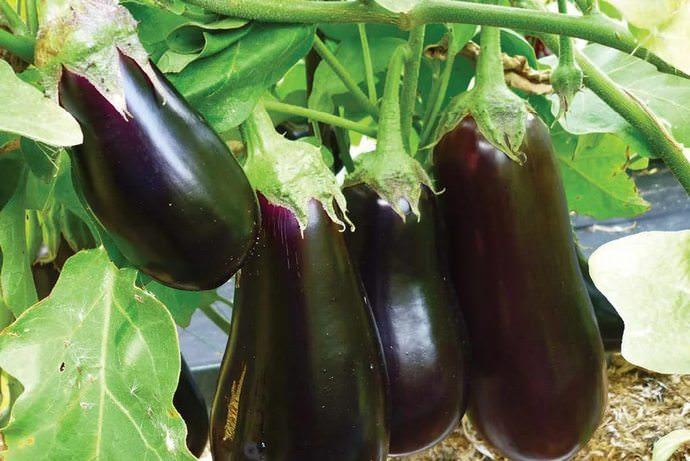 В домашних условиях не рекомендуется высаживать семена на рассаду раньше февраля-марта
